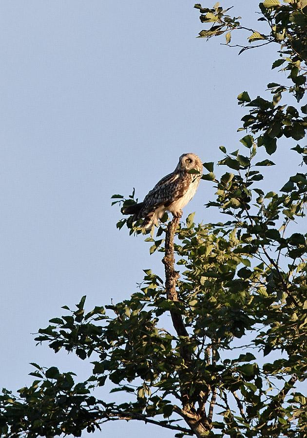 Болотная сова. Автор фото: Байбекова Светлана