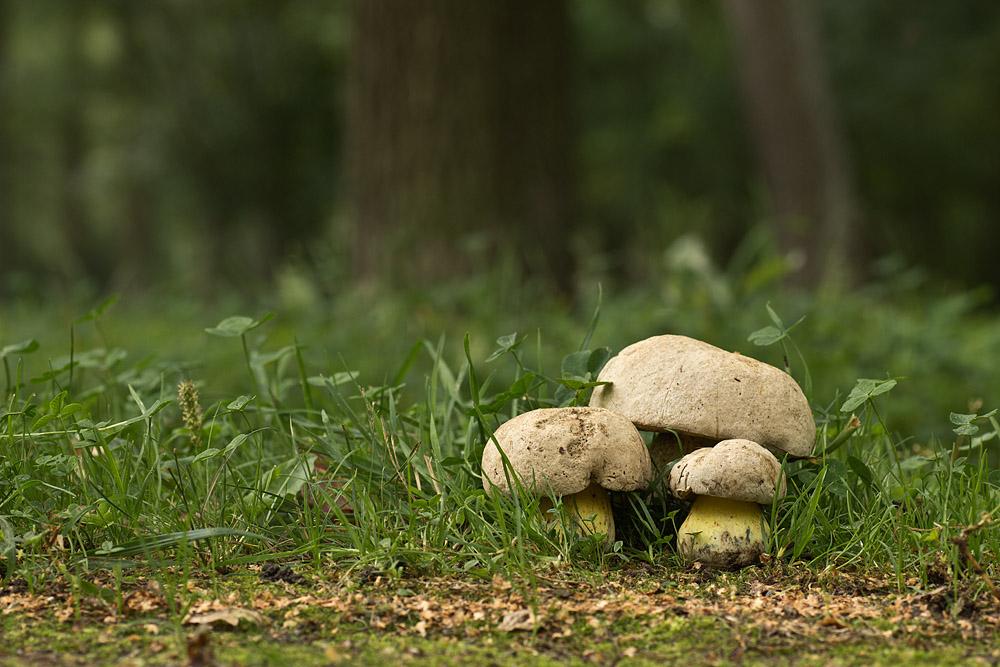 Болет укореняющийся (Boletus radicans). Автор фото: Байбекова Светлана