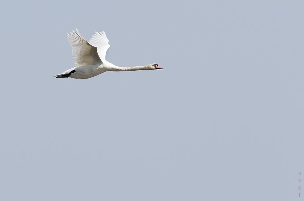 Лебедь-шипун (Cygnus olor). Автор фото: Байбекова Светлана