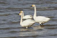 s:водоплавающие,c:белые,шея длинная
