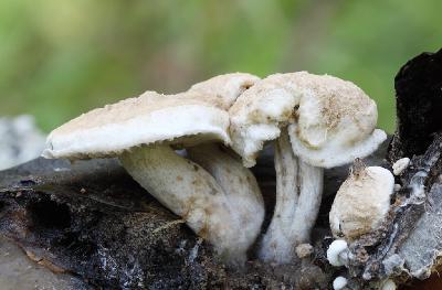 Астерофора дождевиковая Asterophora lycoperdoides.  Синонимы: Nyctalis lycoperdoides — Никталис дождевиковый; Астерофора ликопердоидес. Паразитирует на грибах семейства Russula (сыроежковые), в первую очередь на чернеющей — Russula nigricans и скрипицах Lactarius vellereus. Гриб, на котором поселился паразит, гниет и разлагается. Встречается в середине и конце лета — чаще после дождей. Автор фото: Сергей Таланов