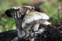 Asterophora lycoperdoides. Автор фото: Сергей Таланов