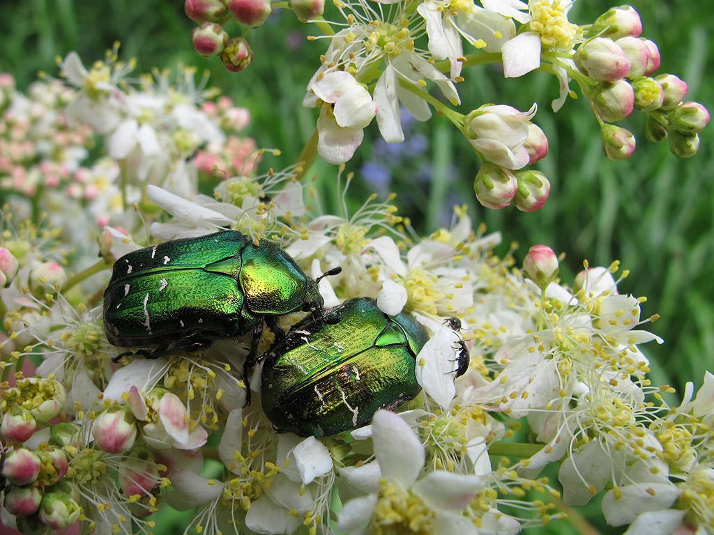 Бронзовка золотистая (Cetonia aurata). Автор фото: Ирина Уханова