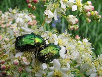 Бронзовка золотистая (Cetonia aurata) Автор: Ирина Уханова