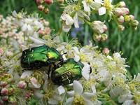 Бронзовка золотистая (Cetonia aurata)