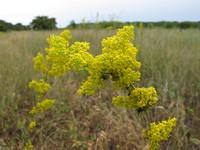 c:желтые,s:травянистые,i:многолетние,b:прямостоячий,околоцветник сростнолепестный,околоцветник актиноморфный,лепестков 4,до 1 см,f:орешек,d:на пустырях,i:лекарственные