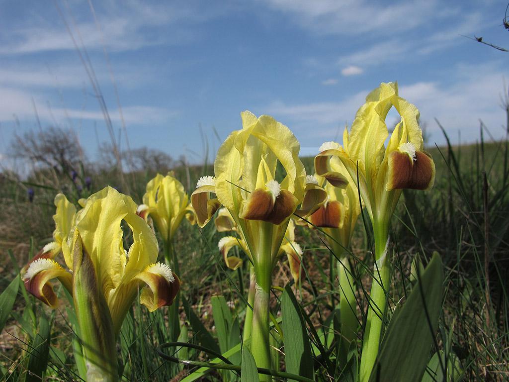 Ирис карликовый (Iris pumila). Автор фото: Ирина Уханова