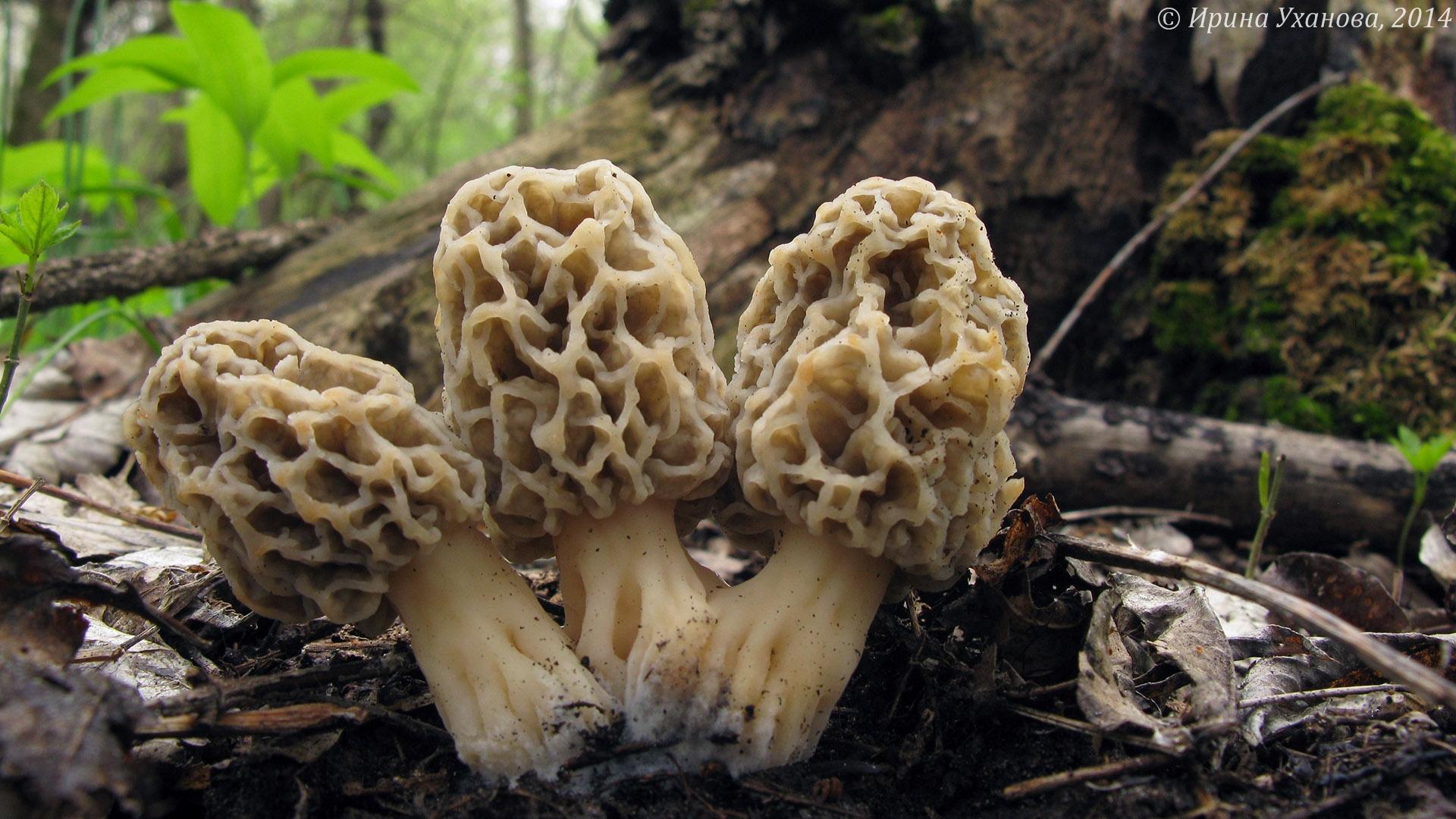 Фото съедобных грибов ставрополья 4