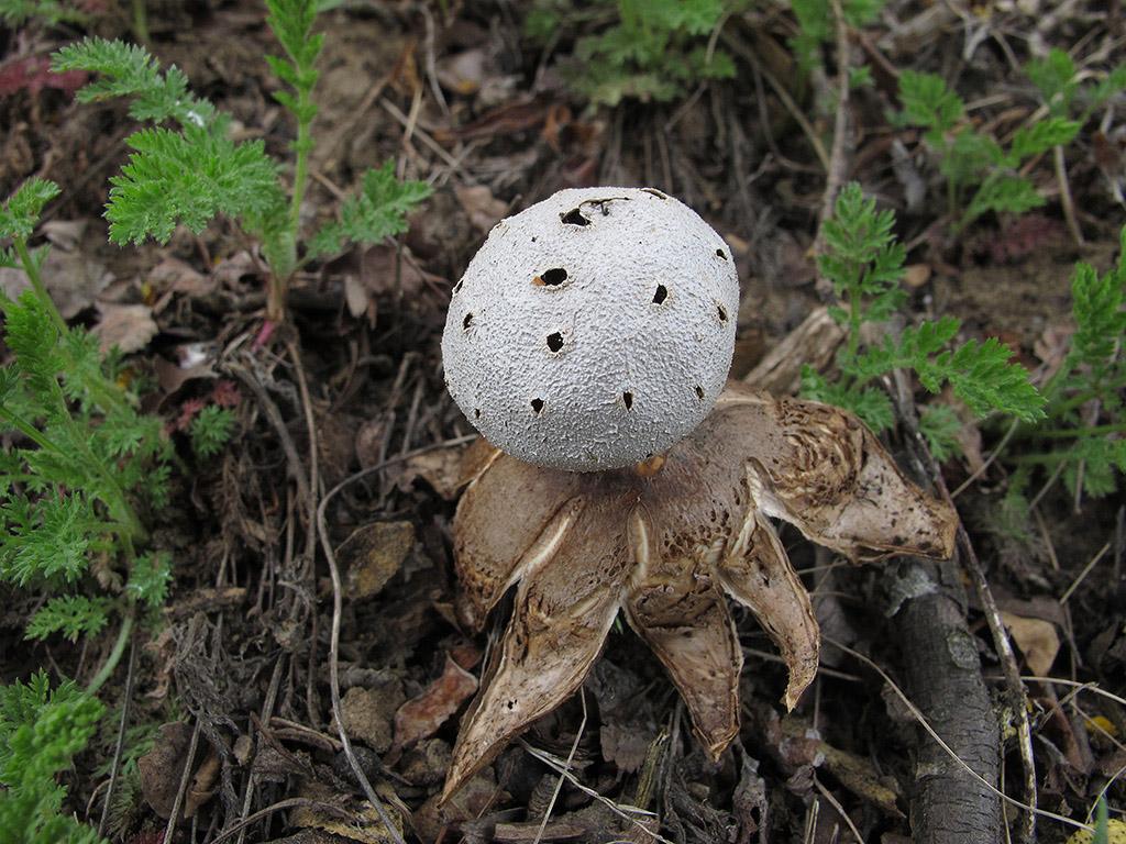 Мириостома шейковидная (Myriostoma coliforme). Автор фото: