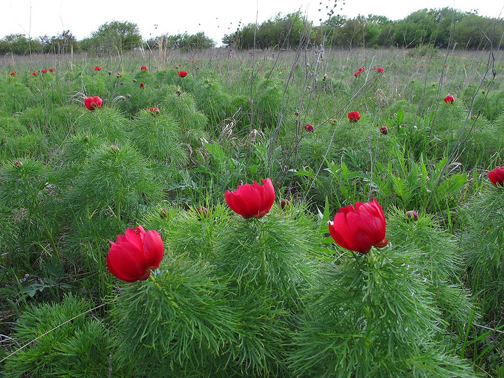 Пион тонколистный (Paeonia tenuifolia). Автор фото: Ирина Уханова