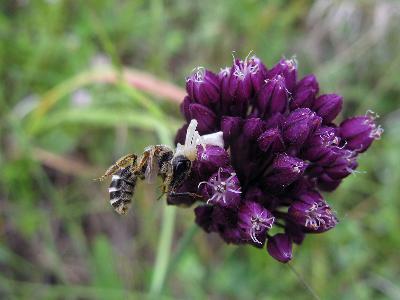 Цветочный паук Мизумена косолапая схватил пчелу Автор фото: Ирина Уханова