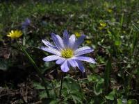 s:травянистые,c:фиолетовые или лиловые,c:фиолетовые,i:многолетние,b:прямостоячий,околоцветник актиноморфный,лепестков 7 и более,c:белые,c:синие,i:редкие,i:редкие и охраняемые,i:культивируемые,i:декоративные