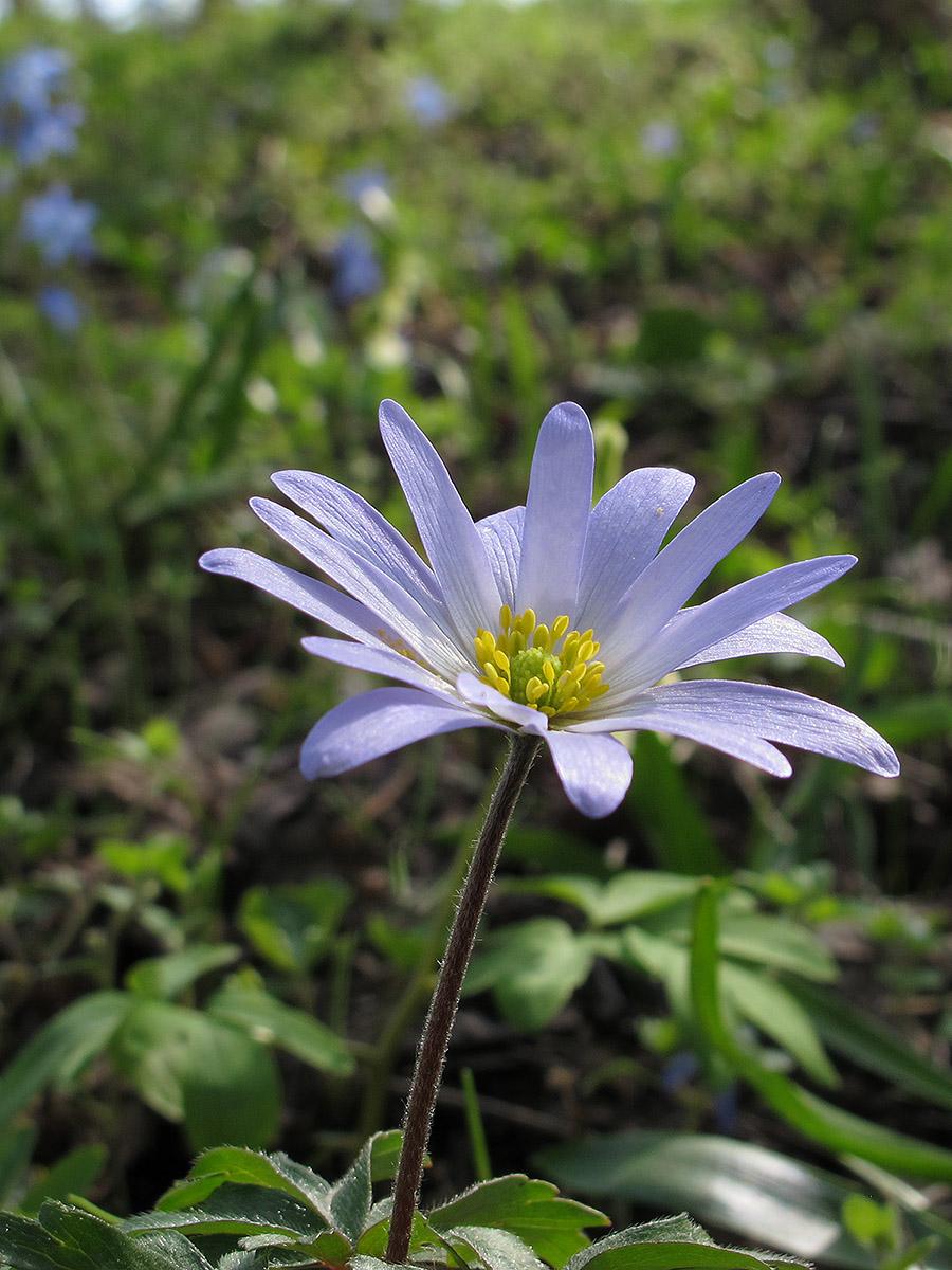 Ветреница нежная (Anemone blanda). Автор фото:Ирина Уханова