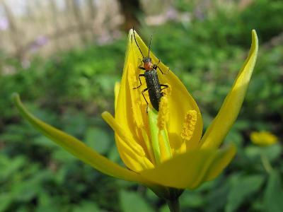 Ставропольский край, широколиственный лес. Взрослое насекомое на цветке тюльпана Биберштейна Автор фото: Ирина Уханова