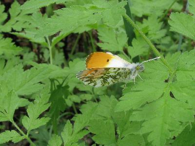 Ставропольский край, широколиственный лес, 10 мая 2011. На фото самец бабочки. Автор фото: Ирина Уханова