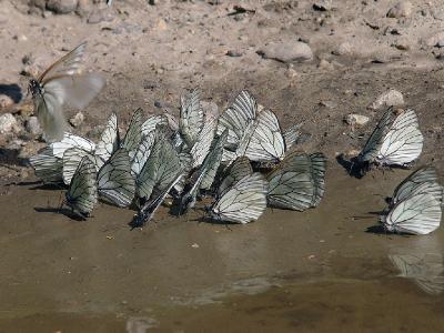 Карачаево-Черкесия, 13 июля 2007 Скопление около грязной лужи, бабочки таким образом пополняют организм минеральными веществами. Автор фото: Ирина Уханова