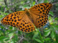 размах крыльев до 75 мм,c:рыжие,c:с темными пятнами,s:дневные бабочки