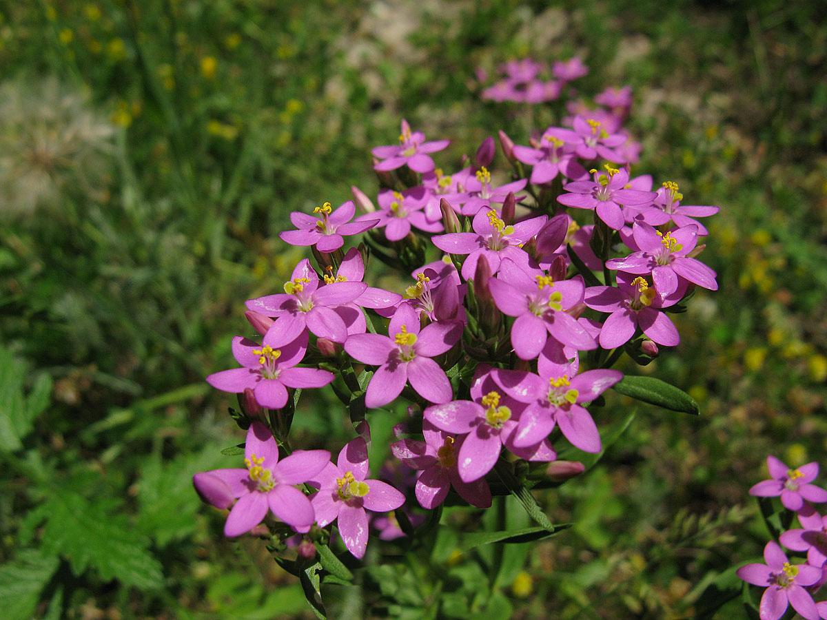 Золототысячник обыкновенный (Centaurium erythraea). Автор фото: