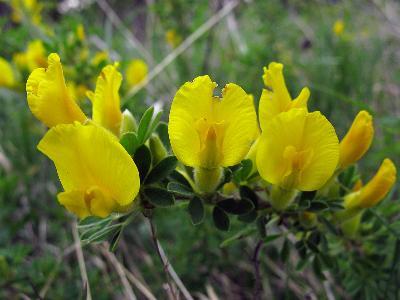 Ракитничек Линдемана (Chamaecytisus lindemannii) Автор: Ирина Уханова