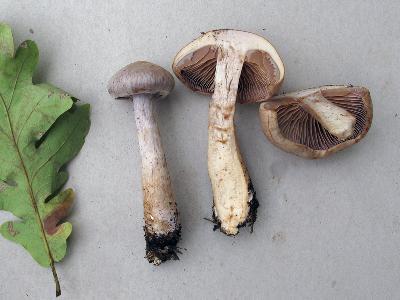 Cortinarius diabolicoides. Автор: Ирина Уханова