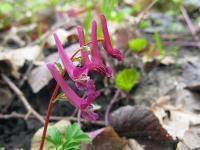 s:травянистые,c:розовые,d:в широколиственных лесах,s:эфемероиды,i:многолетние,b:прямостоячий,l:сложные,l:очередные,соцветия - кисть,c:белые,c:красные,околоцветник зигоморфный,околоцветник со шпорцем,c:2-5 см,f:коробочка,f:стручок,i:декоративные,i:редкие и охраняемые,i:культивируемые