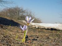 s:травянистые,s:луковичные,c:фиолетовые или лиловые