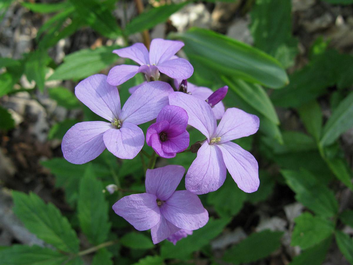 Зубянка пятилистная (Dentaria quinquefolia). Автор фото: