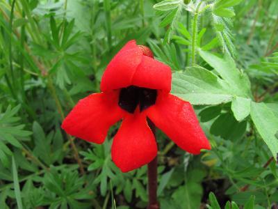 Фелипея красная (Phelypaea coccinea) Автор: Ирина Уханова
