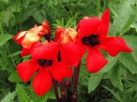 s:травянистые,c:красные