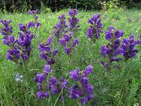 c:фиолетовые или лиловые,c:лиловые,s:травянистые,l:супротивные,околоцветник зигоморфный,околоцветник сростнолепестный,лепестков 5,f:орешек