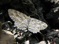 s:бабочки,c:серые,c:черные,c:бурые,размах крыльев до 40 мм