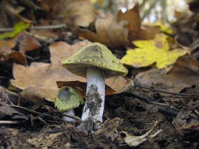 Энтолома разносторонняя (Entoloma versatile) — небольшой, но очень симпатичный гриб с колокольчатой или конической шляпкой. Поверхность волокнистая, оливково-бурая, блестящая. Ножка сероватая, к основанию тёмно-серая, чешуйчатая, без кольца. Пластинки серые, затем тёмно-розовые. Гриб растет в лиственных и смешанных лесах, предпочитая плодородные почвы. Распространен широко (Европа, Северная Америка), но встречается редко. Токсические свойства не изучены.   Ставропольский край, Грачёвский район, искусственные посадки сосны и клён 10 октября 2013 г. Автор фото: Ирина Уханова