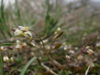 Веснянка ранняя (Erophila praecox)Автор фото - Ирина Уханова