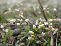 s:травянистые,s:эфемероиды,s:розеточные,c:белые,c:до 1 см,лепестков 4,лепестков 7 и более,околоцветник актиноморфный,b:прямостоячий,l:очередные,f:стручок,соцветия - кисть