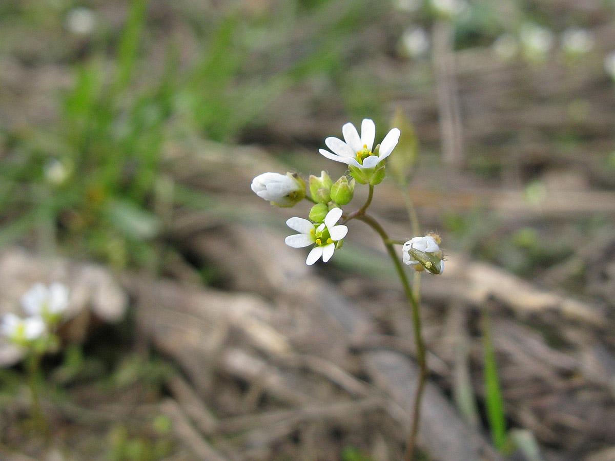 Веснянка весенняя (Erophila verna). Автор фото: