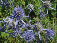 s:травянистые,i:многолетние,h:до 100 см,b:прямостоячий,c:синие,соцветия - головки,c:1-2 см,c:2-5 см,околоцветник актиноморфный,лепестков 5