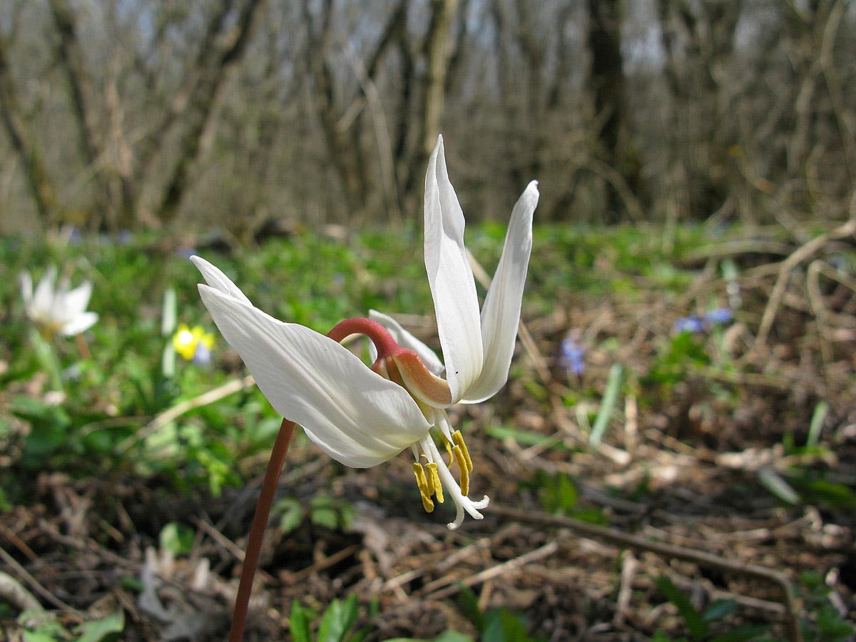 Кандык кавказский (Erythronium caucasicum). Автор фото: Ирина Уханова