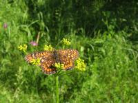 s:дневные бабочки