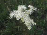 s:травянистые,h:до 150 см,c:белые,c:кремовые,соцветия - метелки,лепестков 5,лепестков 6 редко,f:многолистовка,c:мелкие