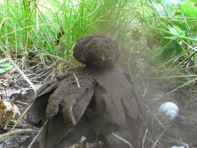 Вот так зрелое плодовое тело пылит спорами Автор фото: Ирина Уханова