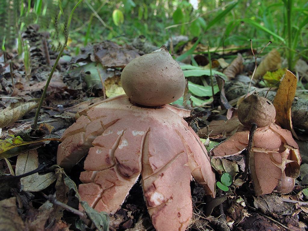 Геаструм рыжеющий (Geastrum rufescens). Автор фото: Ирина Уханова