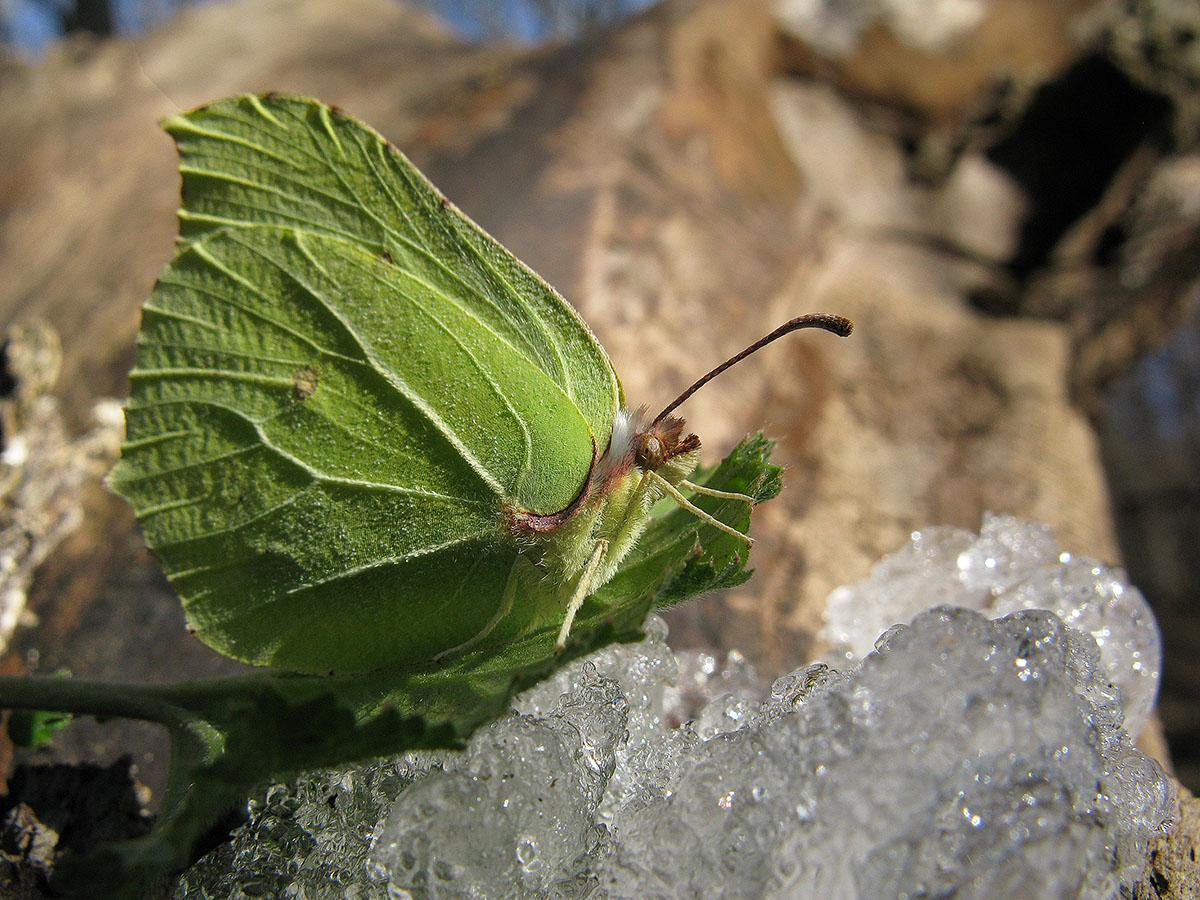 Крушинница (Gonepteryx rhamni). Автор фото:Ирина Уханова