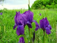 c:синие,c:фиолетовые или лиловые