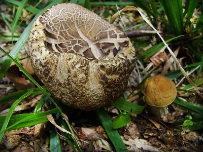 Грабовик (Leccinum pseudoscabrum) Автор фото: Ирина Уханова