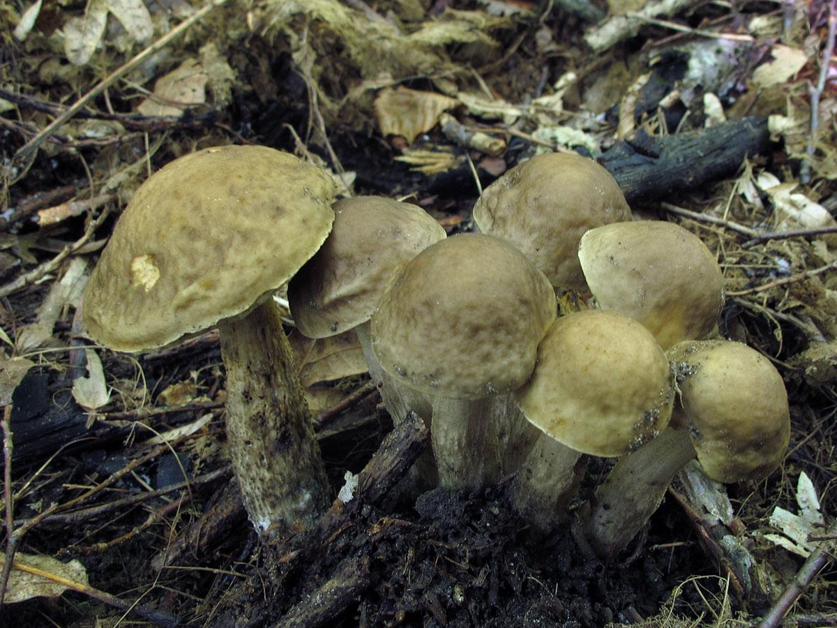 Грабовик (Leccinum pseudoscabrum). Автор фото: Ирина Уханова