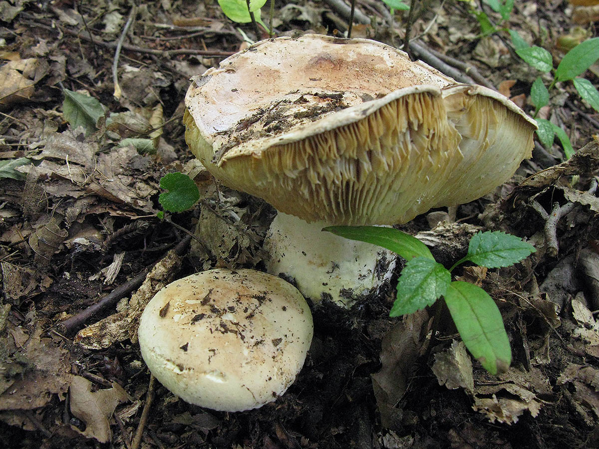 Лейкопаксиллус трёхцветный (Leucopaxillus tricolor). Автор фото: Ирина Уханова