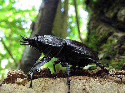 Самка жука-оленя Автор фото: Ирина Уханова