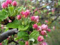 s:листопадные,s:деревья,околоцветник актиноморфный,лепестков 5,f:яблоко,c:белые,c:2-5 см,s:кустарники,h:до 3 м,h:до 10 м