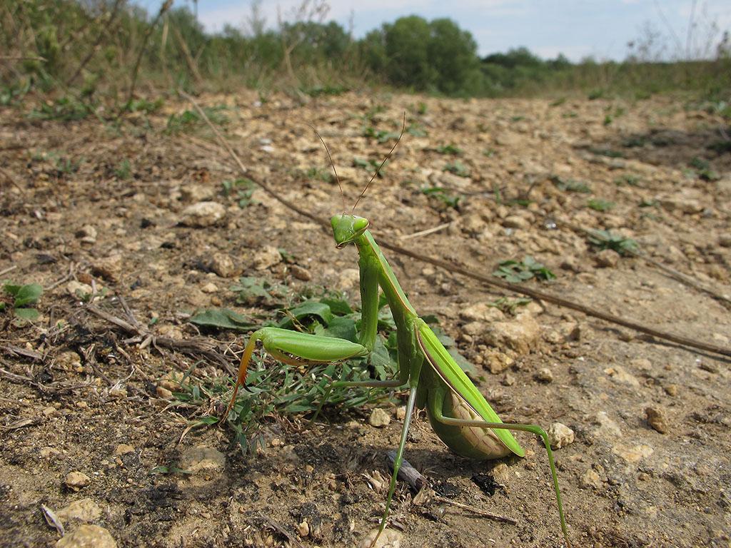 Богомол обыкновенный (Mantis religiosa). Автор фото: Ирина Уханова
