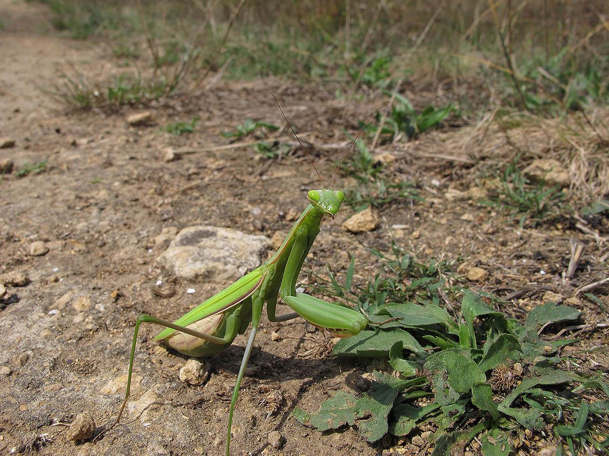 Богомол обыкновенный (Mantis religiosa). Автор фото:Ирина Уханова